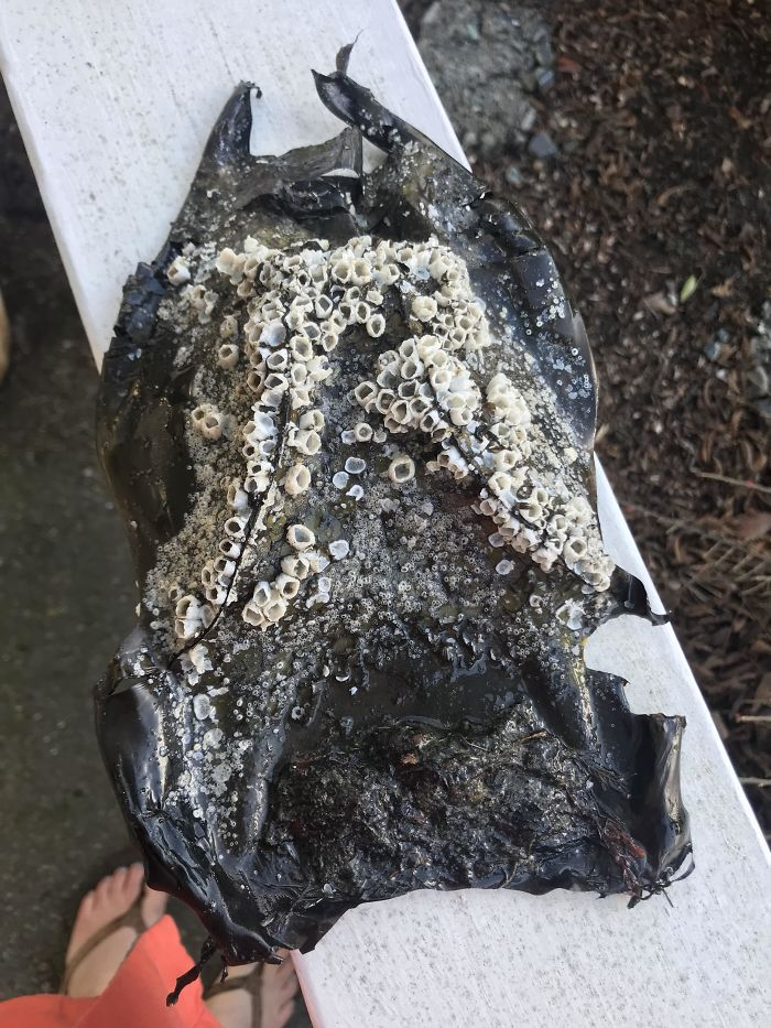 I Found The Mermaids Purse Of A Skate Covered In Acorn Barnacles. Central Oregon Coast.