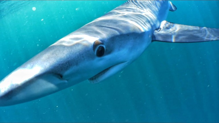 Photo gallery: 4 fascinating behaviors of great white sharks and what they mean