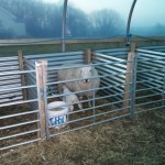 sheep polytunnel ewe in pen with lamb in livestock five star polytunnel