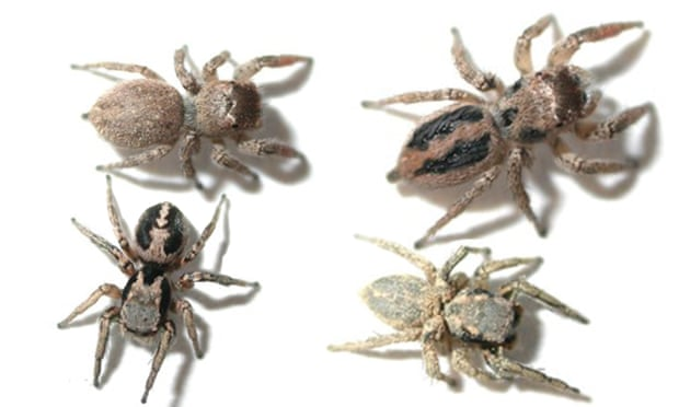 Makeup fails to solve mystery of why jumping spiders have back stripes