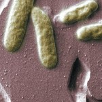 Electric Bacteria for Bio-Batteries