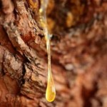 Turning Pine Sap Into 'Ever-Green' Plastics