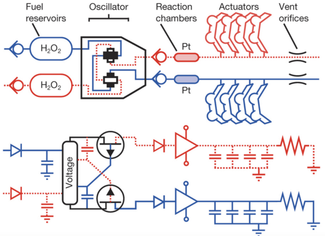 Octobot mechanical schematic (top) and electronic analogue (bottom). Check valves, fuel tanks, oscillator, reaction chambers, actuators and vent orifices are analogous to diodes, supply capacitors, electrical oscillator, amplifiers, capacitors and pull-down resistors, respectively. (credit: Michael Wehner at al./Nature)