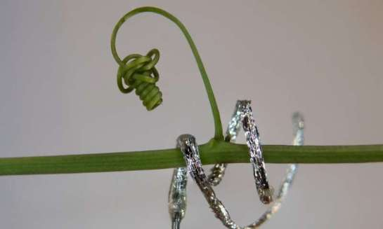 The first tendril-like soft robot able to climb