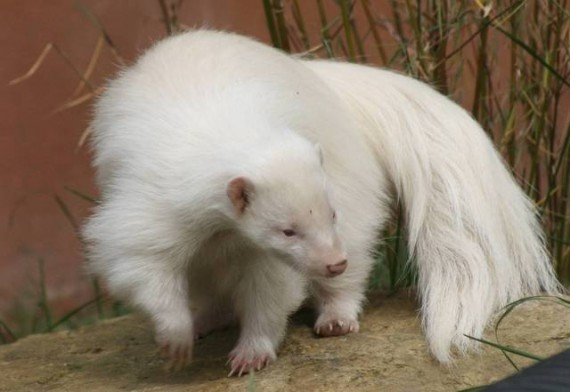 skunk-white-animals-570x392