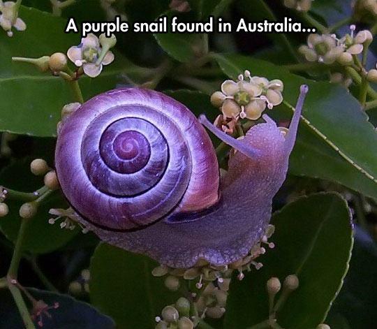 cool-purple-snail-leaf-Australia-1