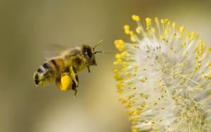 Arılar Bir Çiçeğin Elektrik Alanını Algılayabiliyor