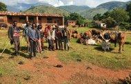 Sud-kivu - Fizi : 250 vaches de la communauté Banyamulenge volées à Makobola