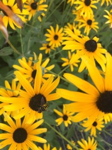 blackeyed-susans