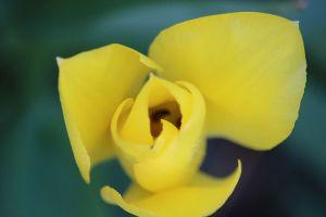 opening-yellow-tulip