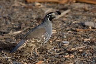 california-quailma06-16-09