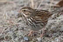 Savannah Sparrowe012608_72ppi