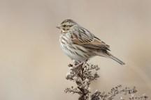 Savannah Sparrowg012608_72ppi