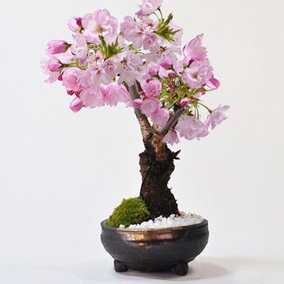 桜のミニ盆栽 ミニ盆栽の専門店 販売サイトから引用