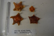 Sea stars from the trawl