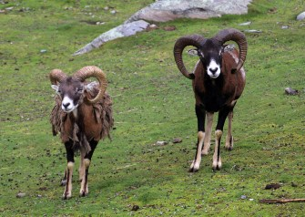 Muflons - very cool animals