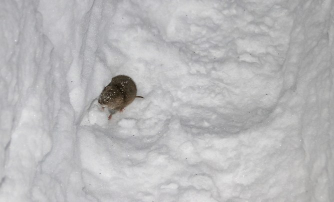 A mouse - trapped inside the winter path
