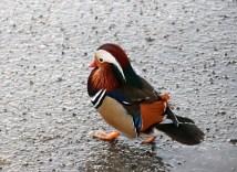 A Mandarin duck!