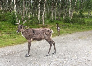 Reindeer - on our way to Røros
