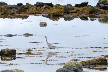 The Grey Heron is quite shy