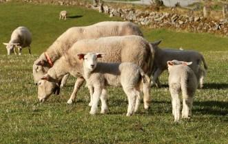 Lambs (I)