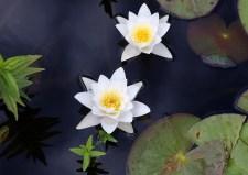 Water lilies in Buåsvågen bay