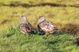 Great Skuas along the trail