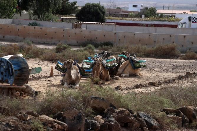 Poor camels...