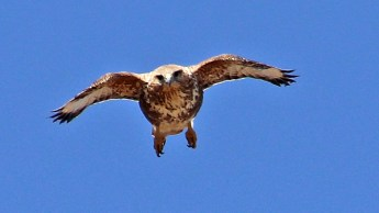 The Eurasian Buzzard (1/3)