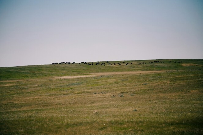 Trust me, those are plains bison, not cows.