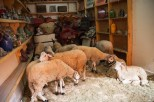 Sheep in shop