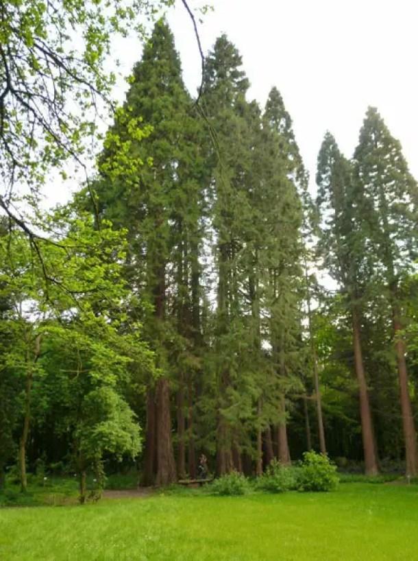 Bergmammutbaeume in der Sequoia-Farm Kaldenkirchen Grenzwald Kaldenkirchen