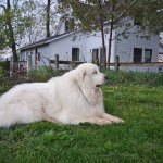 A Great Pyrenees, unrelated to the dog killed Thursday. (Thomas Aiko)