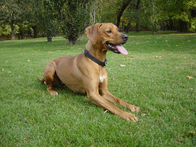 Rhodesian Ridgebacks were bred to be hunters and guard dogs.