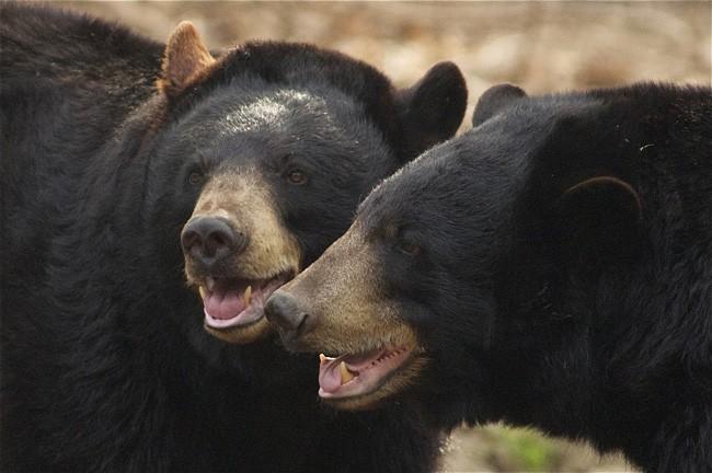 florida bear hunt