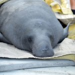 Florida's manatees are in trouble. (FWC)