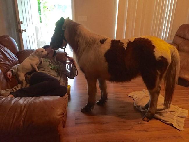 shetland pony killed