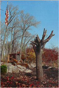 The Survivor Tree in 2001. (NYC Parks Department)