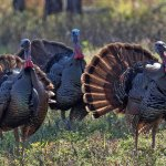 The Osceola turkey, also known as the Florida turkey, is one of the most sought-after game species in Florida. This unique bird is one of five subspecies of wild turkey in North America. (FWC)