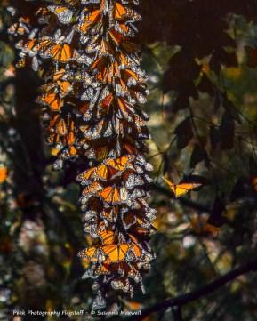 Monarch Colony