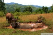 Bufalos acuáticos
