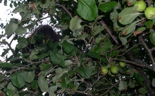 porcupine front