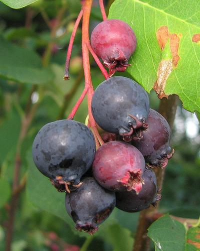 Pacific Northwest Edible Berries | FlashDecks