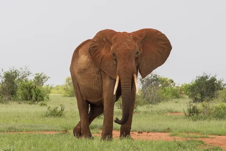 red elephant in Tsavo