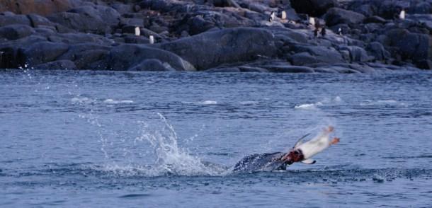 Leopard Seal & Gentoo Penguin