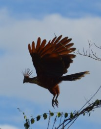 Hoatzin, prehistoric bird