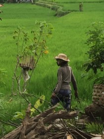 Woman working in the rice fields.