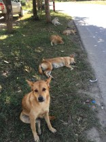 Feral dogs chilling roadside in Pai Thailand