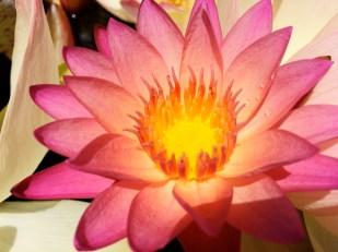 Lotus flower in Kula