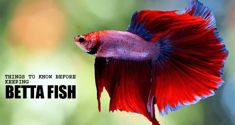 Keeping Betta Fish in Dubai